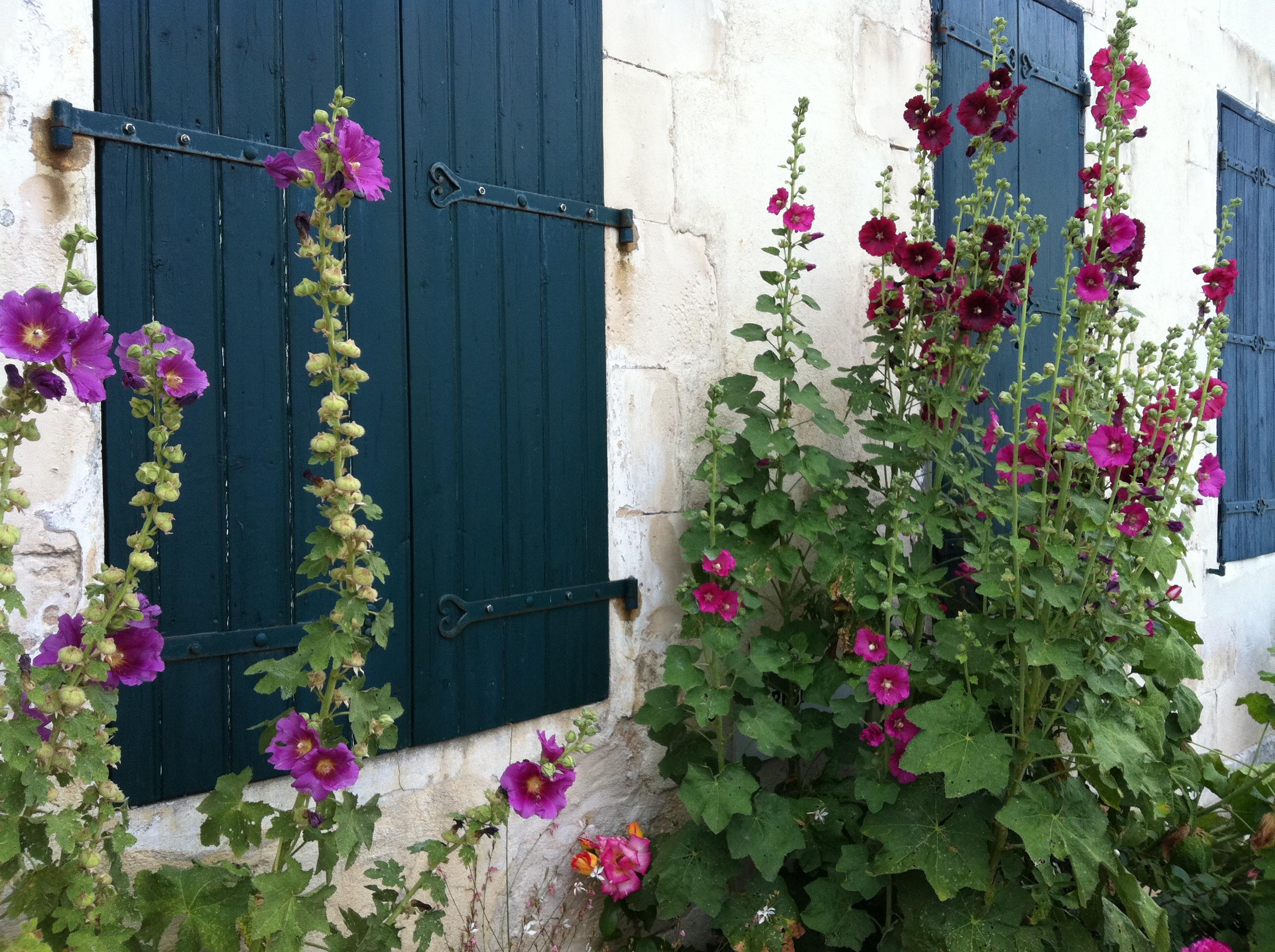 Rose tr mi res le 1bis epicerie fine ile de r - Planter des roses tremieres ...